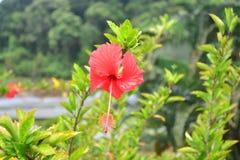 De rode struik van de hibiscusbloem in botanische tuin, Thailand stock afbeelding