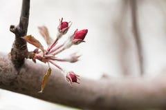 De rode tak van de appelboom met jonge bloemen Macroaardconcept, de lentetijd in de tuin Ondiepe Diepte van Gebied stock afbeeldingen