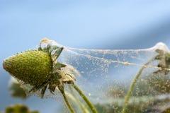 De rode teistering van de spinmijt op een aardbeigewas royalty-vrije stock afbeeldingen