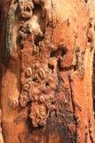 De rode textuur van de boomschors Stock Foto