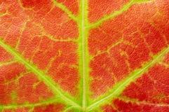 De rode textuur van het esdoornblad Stock Fotografie