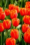 De rode tulpen in de tuinfoto werden overgenomen: 2015 3 28 Stock Afbeeldingen