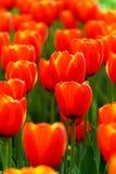 De rode tulpen in de tuinfoto werden overgenomen: 2015 3 28 Stock Foto's