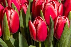 De rode tulpen sluiten omhoog Stock Afbeeldingen