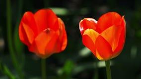 De rode tulpen sluiten omhoog Lengte in natuurlijk milieu wordt gevergd dat stock videobeelden