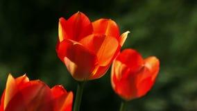 De rode tulpen sluiten omhoog Lengte in natuurlijk milieu wordt gevergd dat stock footage