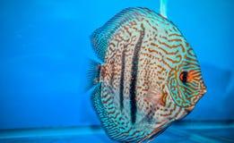 De rode Turkooise vissen van de Discus Royalty-vrije Stock Afbeelding
