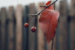 de rode van het de takblad van de bessenboom aard van de de omheiningsherfst houten Stock Foto's