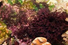 De Rode Vegetatie van het Aquarium van het zoutwater stock afbeelding