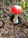 De Rode Vergiftigde Giftige paddestoel van Nice royalty-vrije stock foto's