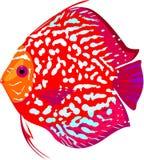 De rode vissen van de luipaarddiscus stock illustratie