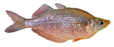 De rode vissen van de Regenboog Royalty-vrije Stock Afbeeldingen