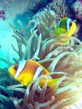 De rode vissen van de Zeeanemoon Royalty-vrije Stock Afbeelding