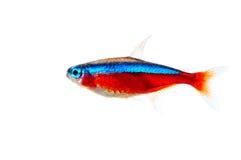 De rode vissen van het neonaquarium - axelrodi Paracheirodon Stock Afbeeldingen