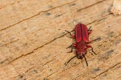 De rode Vlakke Kever van de Schors stock fotografie