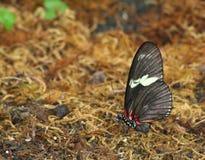 De rode Vlinder van Doris Longwing Stock Afbeelding
