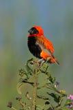 De rode Vogel van de Bischop Royalty-vrije Stock Afbeeldingen