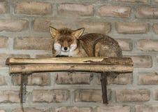 De rode vos in het ochtendlicht ligt in het kippenhok royalty-vrije stock afbeelding