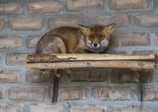 De rode vos in het ochtendlicht ligt in het kippenhok stock foto