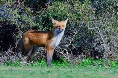 De rode vos jacht op een weide stock fotografie