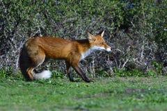 De rode vos jacht op een weide stock afbeelding
