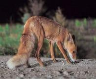 De rode vos komt aan de stad bij nacht royalty-vrije stock foto