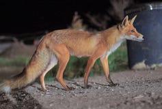 De rode vos komt aan de stad bij nacht royalty-vrije stock fotografie