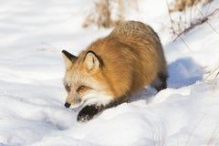 De rode vos snuffelt rond Royalty-vrije Stock Afbeelding