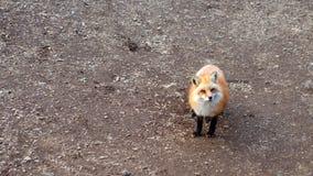 De rode vos van Japan Stock Foto