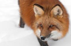 De rode Vos (Vulpes vulpes) kijkt omhoog links Dicht Royalty-vrije Stock Afbeelding