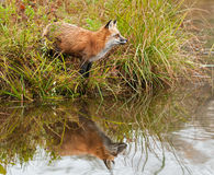 De rode Vos (Vulpes vulpes) kijkt net op Oever Stock Foto