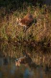 De rode Vos Vulpes vulpes kijkt uit Nagedacht royalty-vrije stock foto