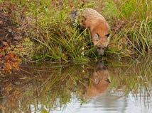 De rode Vos (Vulpes vulpes) onderzoekt Water Stock Afbeelding