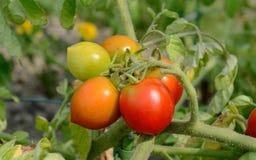 De rode Waakzame tomaten rijpen op een struiktomatenplant Royalty-vrije Stock Fotografie