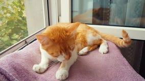De rode witte poot en de wassen van kattenlikken zijn gezicht thuis De leuke grappige rood-witte kat op de vensterbank, sluit omh stock video