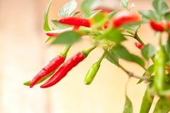 De rode zeer hete installatie van de Spaanse peperspeper! Stock Foto