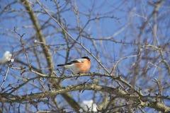 De rode zitting van de vogelgoudvink bij de tak Royalty-vrije Stock Fotografie