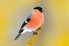 De rode zitting van de zangvogelgoudvink op gele korstmostak, Sumava, Tsjechische republiek Het wildscène van aard Goudvink in bo royalty-vrije stock foto