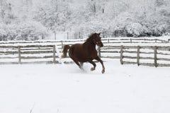 De rode zware paardlooppas galoppeert in de winter stock foto's
