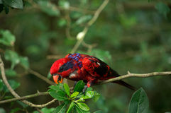 De rode zwarte en blauwe bevederde vogel met zwarte streep op hoofdholding en het eten van groene boom gaat weg Stock Afbeelding