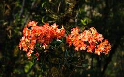 De rododendron hybride bloemen van Ericaceaevireya It' geroepen s 1000 jaar nam bij het Arboretum van Doi toe Chang Mub Mae  royalty-vrije stock afbeelding