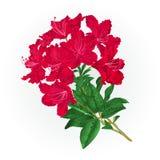 De rododendron uitstekende botanische van tak rode bloemen vector als achtergrond Stock Afbeeldingen