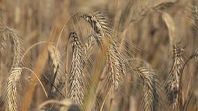 De rogge is een gras als korrel, dekkingsgewas en foeragegewas dat uitgebreid wordt gekweekt 5 stock video