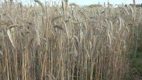 De rogge is een gras als korrel, dekkingsgewas en foeragegewas dat uitgebreid wordt gekweekt stock videobeelden