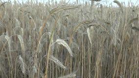 De rogge is een gras als korrel, dekkingsgewas en foeragegewas dat uitgebreid wordt gekweekt stock video