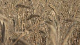 De rogge is een gras als korrel, dekkingsgewas en foeragegewas dat uitgebreid wordt gekweekt stock footage