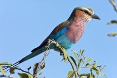 De Rol van Lilacbreasted - Botswana Stock Foto