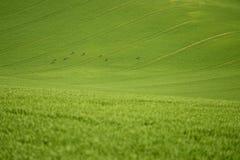De rollende heuvels van Moravië met deers in de lente Royalty-vrije Stock Foto's
