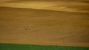 De rollende heuvels van Moravië met deers in de lente Royalty-vrije Stock Fotografie