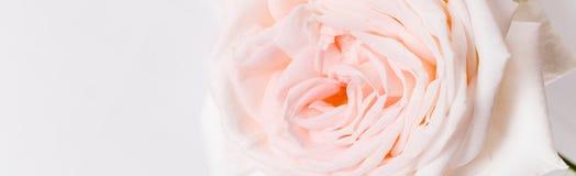 De romantische banner, gevoelige witte roze nam bloemenclose-up toe Geurige roze bloemblaadjes stock afbeeldingen